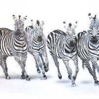 zebras-zoo-2015