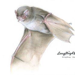 Langfluegelfledermaus-bearbeitet